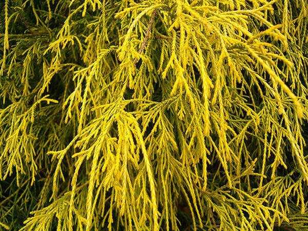 gold-mops-japanese-cypress-chamaecyparis-dwarf-tree-web